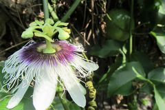 Passion Fruit Flower with Fruit Stock Image