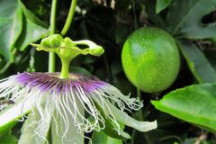 Passion Fruit Flower with Fruit. The purple and white passion fruit flower, topped with an unusual reproductive structure. A green passion fruit can be seen in stock photos