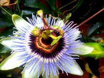 Passion Fruit Flower Stock Photos