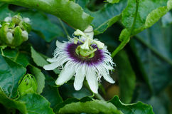 Passion fruit flower Stock Photography