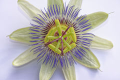 Passion Fruit Flower Stock Photo