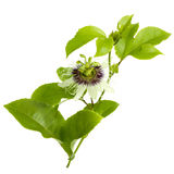 Passion Fruit Flower and Leaves Isolated on white Royalty Free Stock Photos