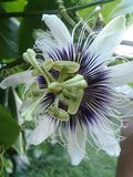 Passion fruit. Flower purple white fruit Royalty Free Stock Images