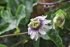 The passion fruit flower. Rain of the day of the passion fruit flower Royalty Free Stock Photos