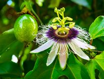 Passion fruit and flower. On a vine royalty free stock photo