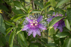 Passion Fruit Flower. The wavy lines of the purple passion fruit flower contrast nicely with the green leaves of this climbing vine Royalty Free Stock Images
