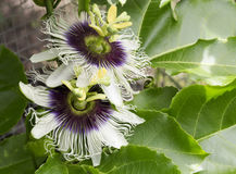Passion Fruit Flowers Stock Image