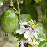 Passion Fruit Flowers Royalty Free Stock Images