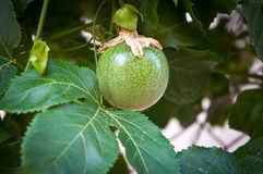 Passion Fruit  . Stock Photography