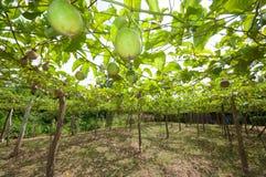 Passion fruit garden Stock Photos