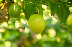 Passion fruit Royalty Free Stock Image