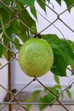 Passion Fruit growing on wire fence where the plant climbs to get support Royalty Free Stock Photography