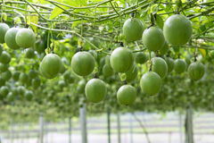 Free Passion Fruit On The Tree In Passion Fruit Farm. Stock Photography - 97826522