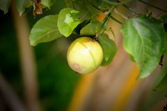 Free Passion Fruit On The Vine Royalty Free Stock Photography - 25425757