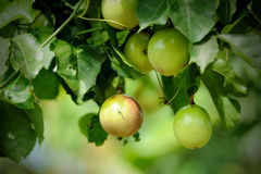 Free Passion Fruit On The Vine Royalty Free Stock Photography - 25425767