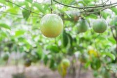 Passion fruit (passiflora edulis ) Royalty Free Stock Photo