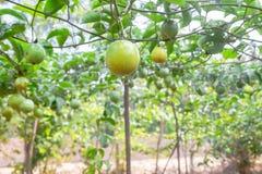 Passion fruit (passiflora edulis ) Royalty Free Stock Photos