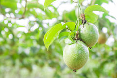 Passion fruit (passiflora edulis) Royalty Free Stock Image