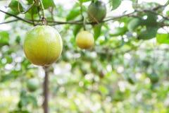 Passion fruit (passiflora edulis) Royalty Free Stock Images