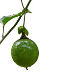 Passion fruit Passiflora edulis on the vine. Royalty Free Stock Photography