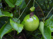 Passion fruit Passiflora edulis on the vine. Stock Photography
