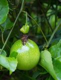 Passion fruit Passiflora edulis on the vine. Stock Photos