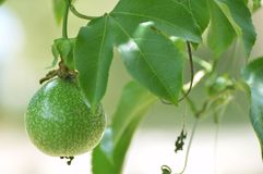 Passion fruit. The ground in the garden Royalty Free Stock Photos