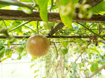 Passion fruit plant on hang wooden. Stock Images