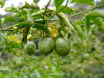 Passion fruit on the plant Royalty Free Stock Photography