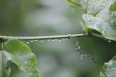 Passion fruit plant with rain drop Royalty Free Stock Photography