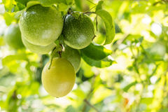 Passion fruit. Raw in the garden. Closeup, Select focus Stock Photography