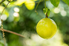 Passion fruit. Raw in the garden. Closeup, Select focus Stock Image