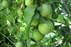 Passion fruit tree Stock Photos