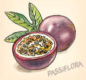 Passion fruit tropical vector picture hand drawn watercolor painting Royalty Free Stock Photos