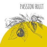 Passion fruit vector botanical illustration sketch plant Royalty Free Stock Images