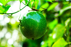 Passion fruit on the vine. Close up of passion fruit on the vine Stock Photography