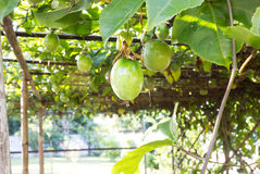Passion fruit on vine. Stock Image