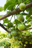 Passion fruit on vine. Stock Images