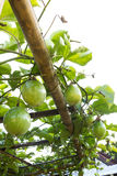 Passion fruit on vine. Stock Photography