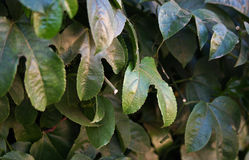 PASSION FRUIT VINE LEAVES Royalty Free Stock Images