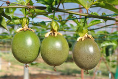 Passion fruit on the vine Royalty Free Stock Images