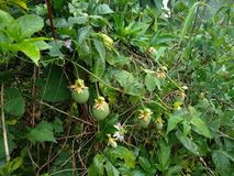 Passion fruits found in jungle of Himalaya mountain region royalty free stock photo
