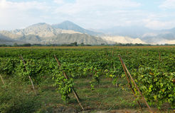 Passion fruits maracuya plantation with desert mountains at background. In Barranca province, Peru Stock Photography