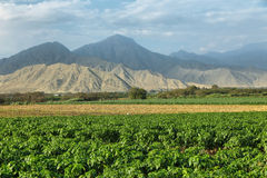 Passion fruits maracuya plantation. With desert mountains at background in Barranca province, Peru Stock Photography