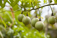 Passion fruits on a tree Stock Image