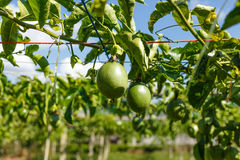 Passion fruits on the vine Stock Photo