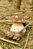 Passion for mushrooms  in the woods, porcini Royalty Free Stock Image