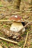 Passion pour des champignons de couche dans les bois, porcini image libre de droits