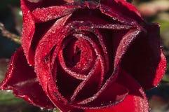 Passion rouge de Rose Photos libres de droits