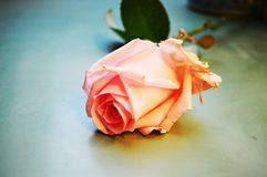 Passion symbol. Pink rose on a neutral background, suggesting the power and passion of love Stock Photos